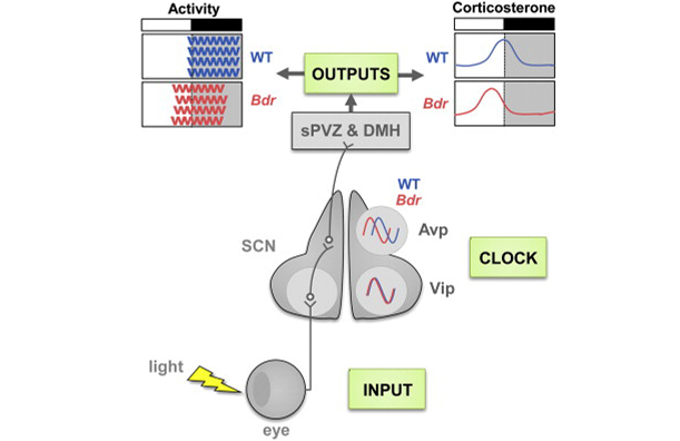 Circadian disruption in the Bdr mutant
