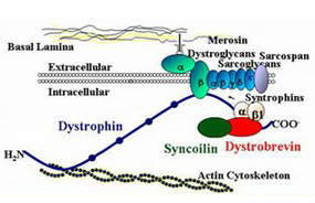 Dystrophin-associated protein complex
