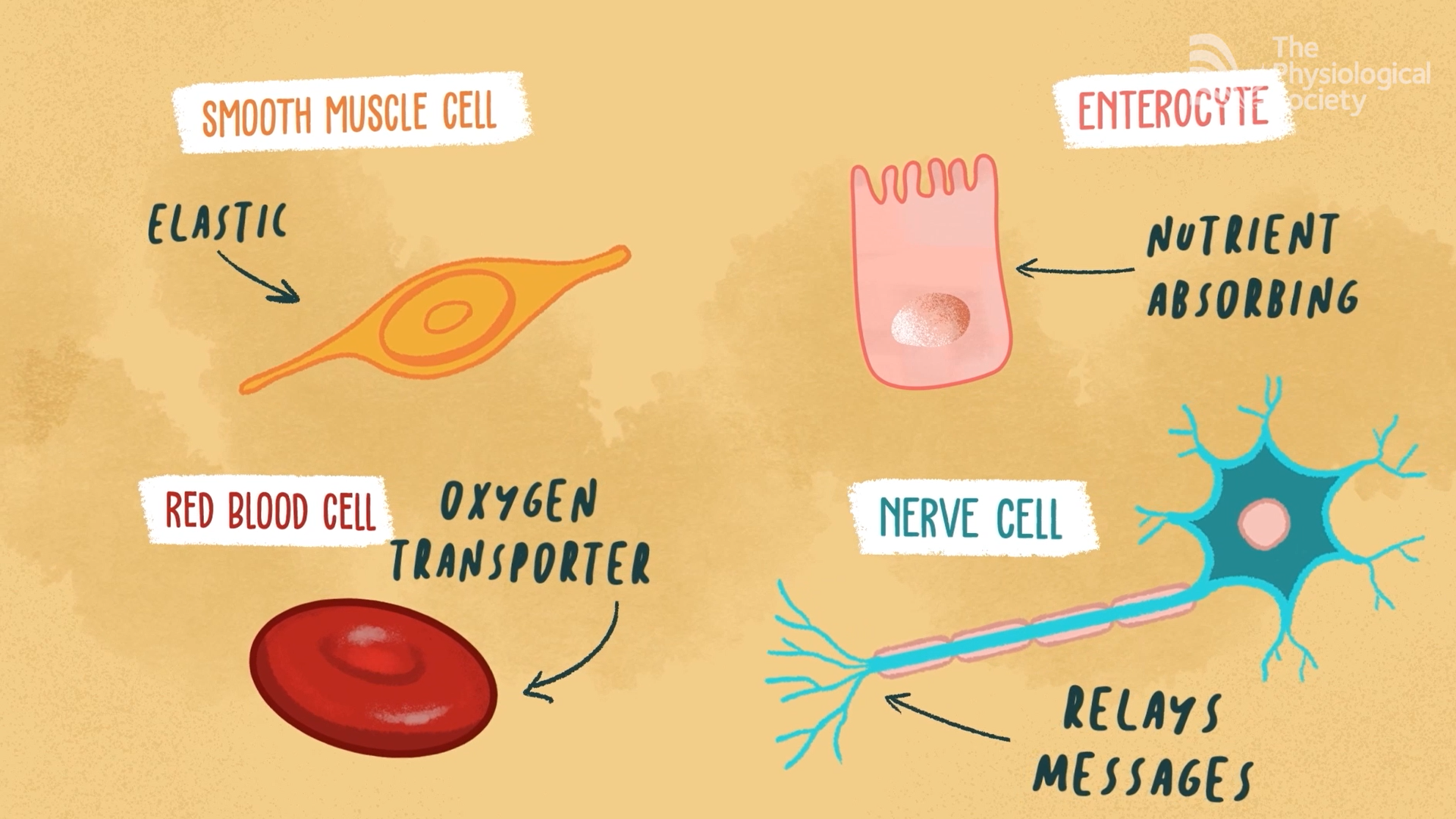 Smooth muscle cell is elastic, a red blood cell is the oxygen transporter, an enterocyte is nutrient absorbing and nerve cells relay messages.