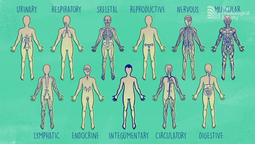 urinary, respiratory, skeletal, reproductive, nervous, muscular, lymphatic, endocrine, integumentary, circulatory and digestive