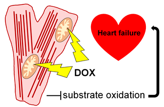 Cartoon depicting the drug doxorubicon affecting mitochondrial function, illustrated by lightning bolts hitting the mitochondria, causing substrate oxidation, which leads to heart failure