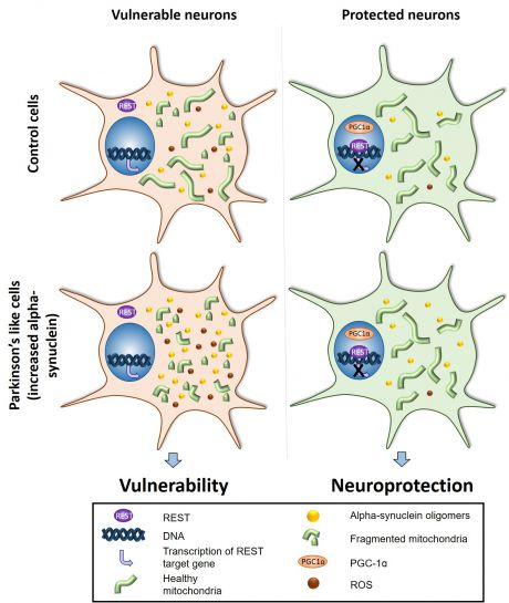 Vulnerable and protected neurons in Parkinson's