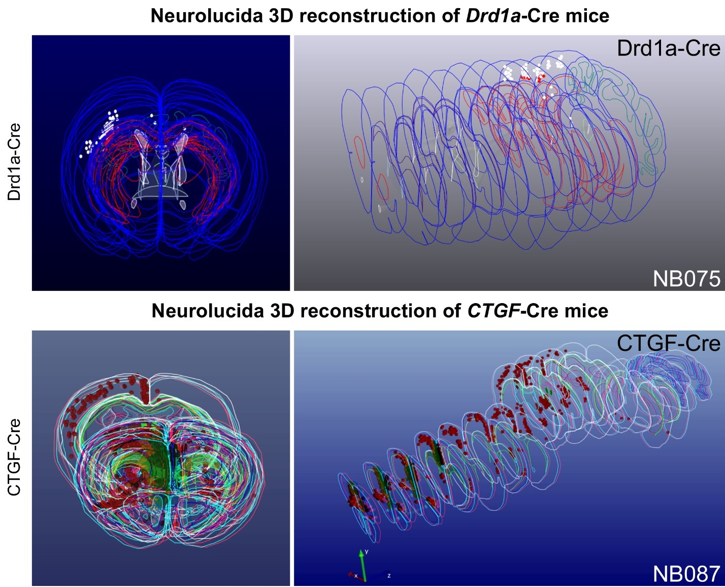 neurolucida 3D reconstructions of Drd1a-Cre mice and CTGF-Cre mice