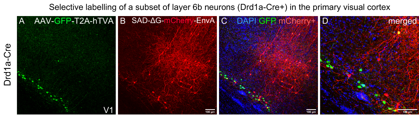 Selective labelling of a subset of layer 6b neurons (Drd1a-Cre+) in the primary visual cortex